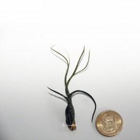 BUTZII Tillandsia growitbox