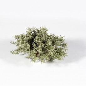 Żywy mech chrobotek reniferowy growitbox