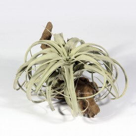 XEROGRAPHICA na korzeniu Opuva growitbox