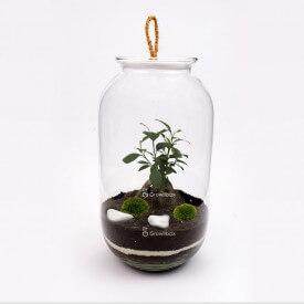 sloj 42cm ficus growitbox.com