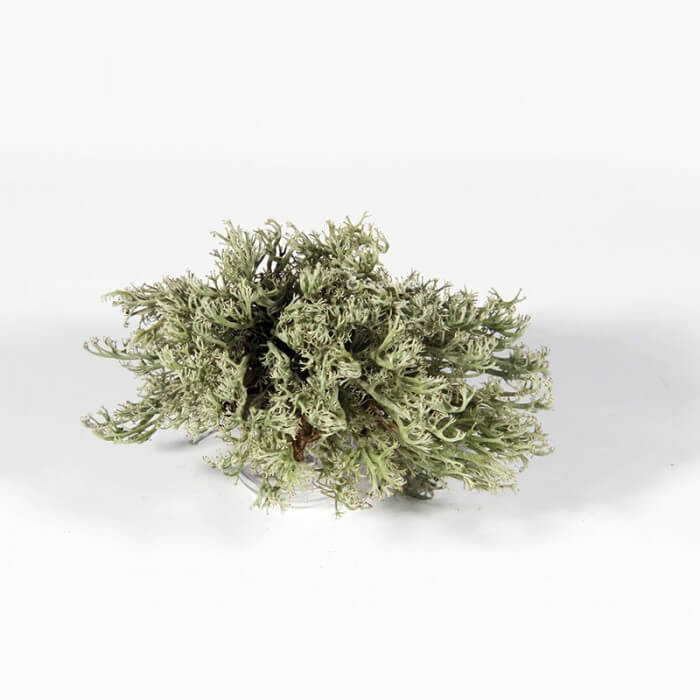 Żywy mech srebrny chrobotek reniferowy Strona główna