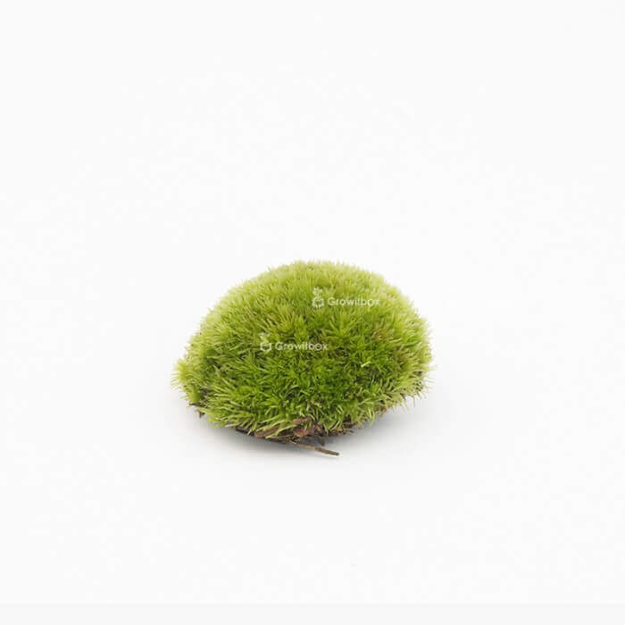 Cushion moss 15-20cm Home
