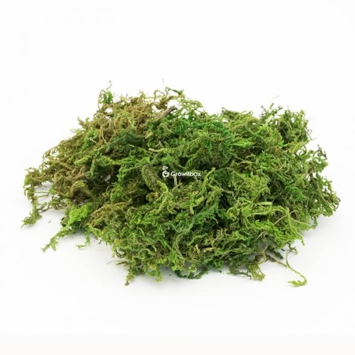 Mech do dekoracji suszony zielony Strona główna