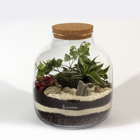 Composition DIY jar 30cm ivy, red fittonia, Chlorophytum laxum Home