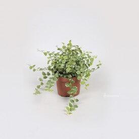 Ficus 'white sunny' Plantes pour la forêt dans un pot