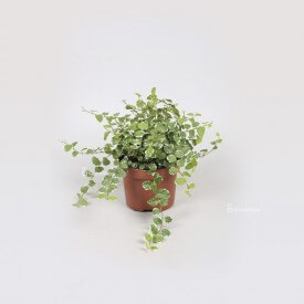 "Ficus ""white sunny"" Plants for forest in jar"
