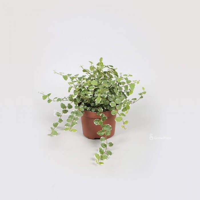 "Ficus ""white sunny"" Home"