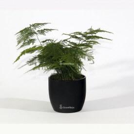 Espárragos en una maceta de cerámica negra Mundo vegetal
