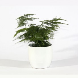 Asparagus in white ceramic pot Home