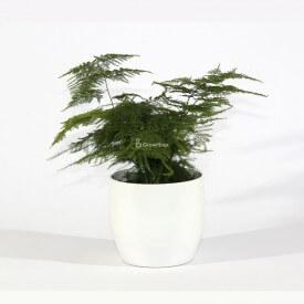 Espárragos en una maceta de cerámica blanca Mundo vegetal