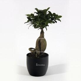 Ginseng Ficus dans un pot en céramique noire Plant World