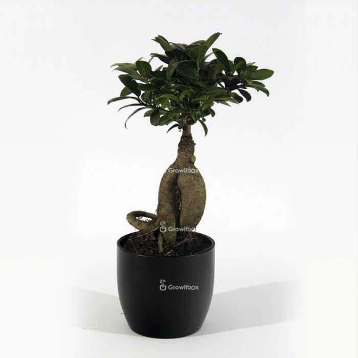Ficus Ginseng in black ceramic pot Plant world