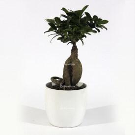 Ginseng Ficus dans un pot en céramique blanche Plant World