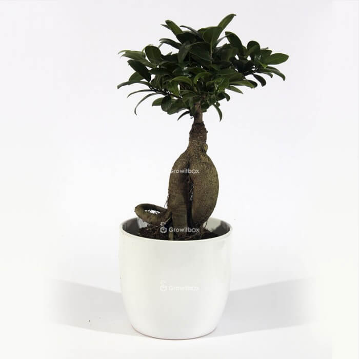 Ficus Ginseng in white ceramic pot Plant world