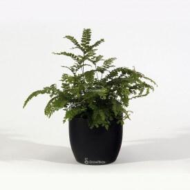 Adiantum-Farn im schwarzen Keramiktopf Plant World