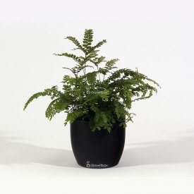 Adiantum fern in a black ceramic pot Home