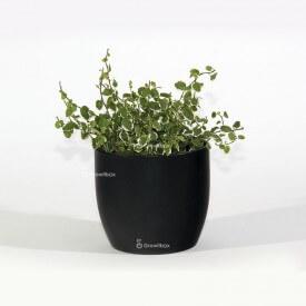 Ficus 'white sunny' dans un pot en céramique noire Plant World