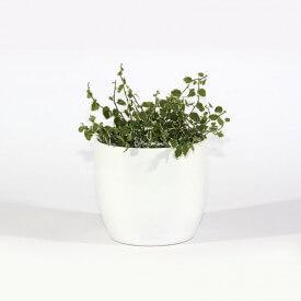 Ficus 'white sunny' dans un pot de céramique blanc Plant World