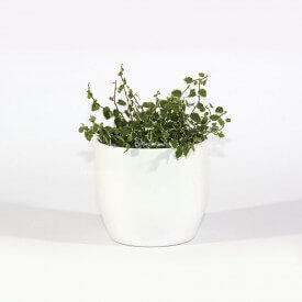 "Ficus ""white sunny"" in a white ceramic pot Home"