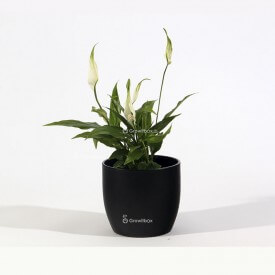 Schwarzer Keramiktopf Flügelblume Plants World