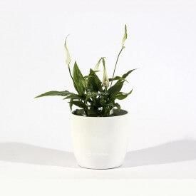 Skrzydłokwiat w białej ceramicznej doniczce Strona główna