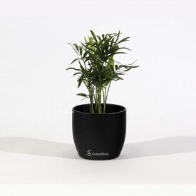 La palma Chamedora en una maceta de cerámica negra El Mundo de las Plantas