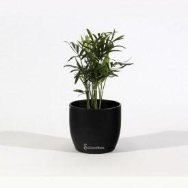 Palma Chamedora in vaso di ceramica nera Mondo delle piante