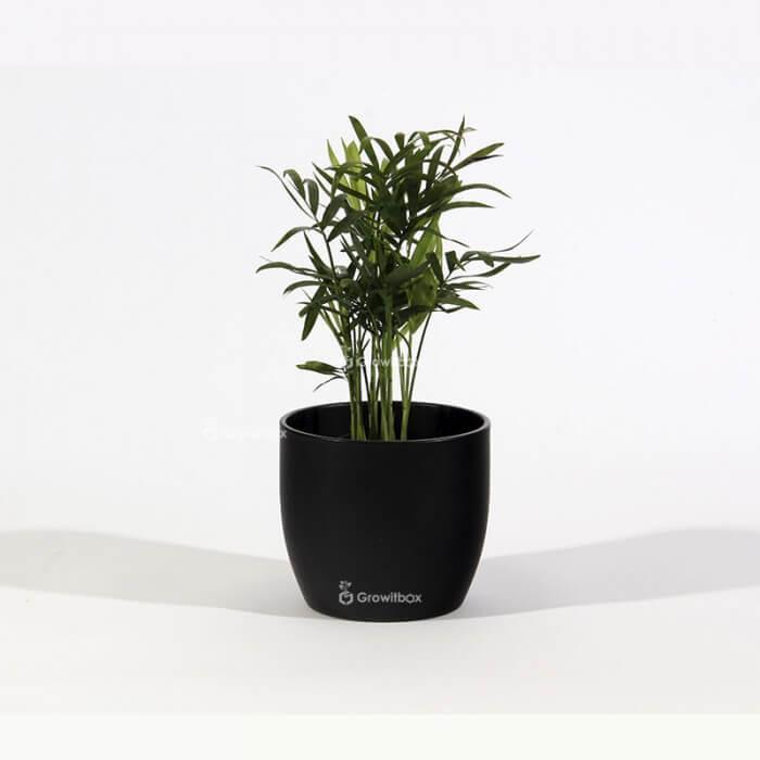 Chamedora palm in a black ceramic pot Home