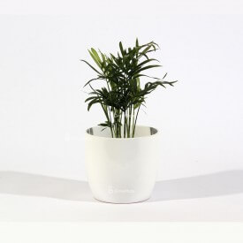 Chamedora palm in a white ceramic pot Home plants