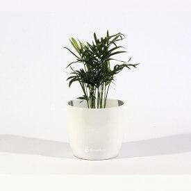 Palma Chamedora w białej ceramicznej doniczce Strona główna