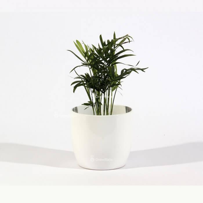 Chamedora palm in a white ceramic pot Home plants