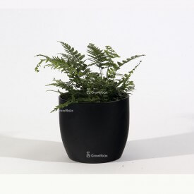 Athyrium fern in a black ceramic pot Plant world