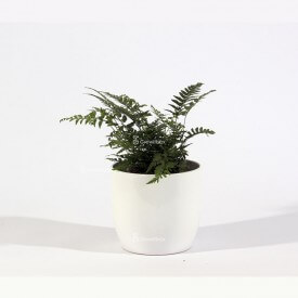Athyrium-Farn im weißen Keramiktopf Plant World