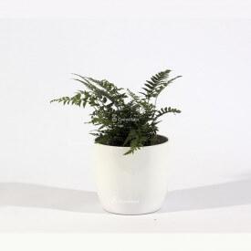 Athyrium felce in vaso di ceramica bianca Mondo delle piante