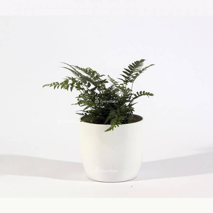 Athyrium fern in a white ceramic pot Plant world