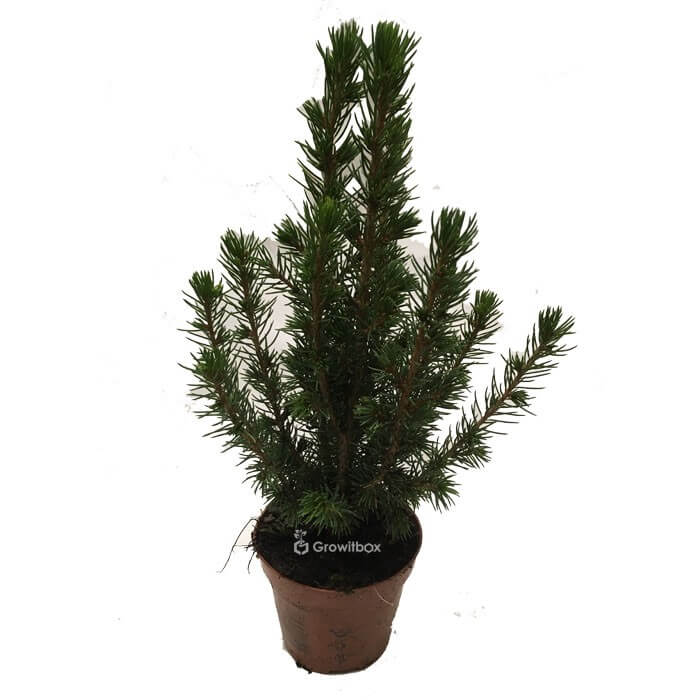 Small spruce tree Home