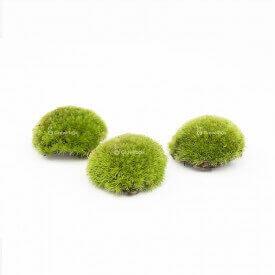 Cuscino a coda bianca 5-8 cm cuscino muschio muschio Mosses