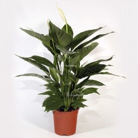 "Spathiphyllum ""Large"" Home"