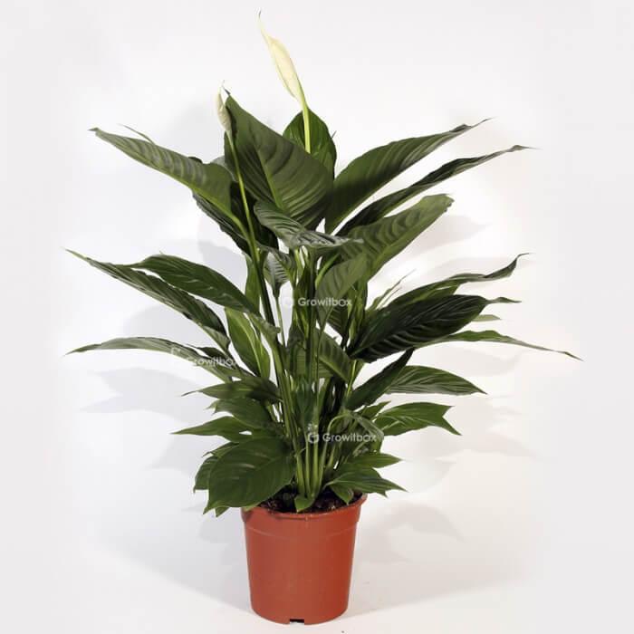 "Spathiphyllum ""Large"" Home"