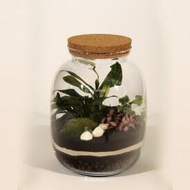 Słój 32cm Skrzydłokwiat, fitonia, bluszcz zestaw DIY las w słoiku Las w słoiku DIY