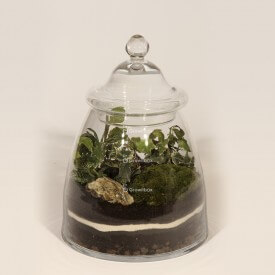 Jar 28cm Ivy, phytonia DIY forest kit in a jar Forest in a jar DIY kits