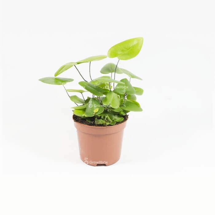 copy of Hemionitis arifolia Home plants