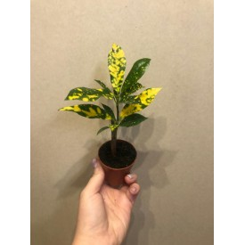 Croton Plants for forest in jar