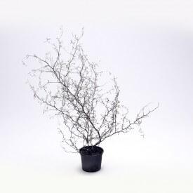 Corokia cotoneaster Plant world