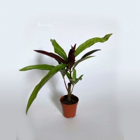 "Croton ""codiaeum variegatum"" Plants for forest in jar"