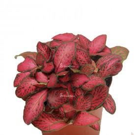 Fitonia czerwona Rośliny do lasu w słoiku