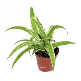 Zielistka czubiasta (Chlorophytum laxum) Rośliny do lasu w słoiku