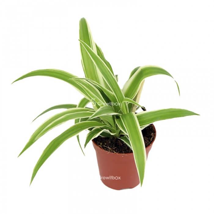 Chlorophytum laxum Pflanzen für den Wald in einem Gefäß