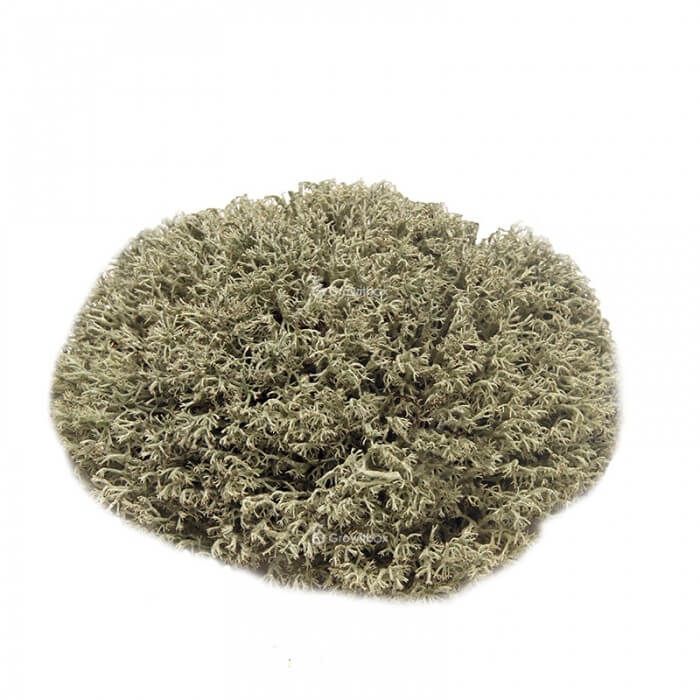 Reindeer silver moss, size L Mosses