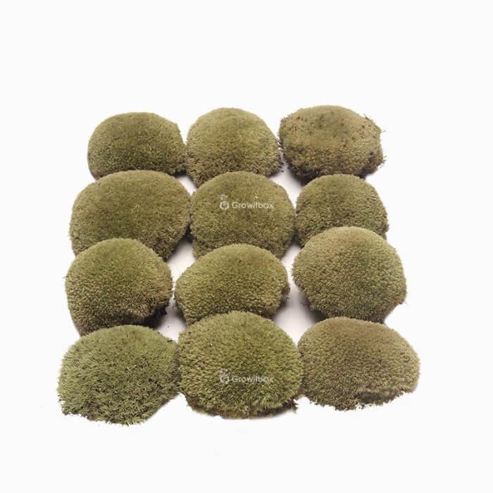Musgo de almohada verde claro Musgo preparado